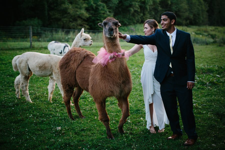 a wedding couple petting llamas
