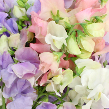 pink, purple and white sweet pea flowers